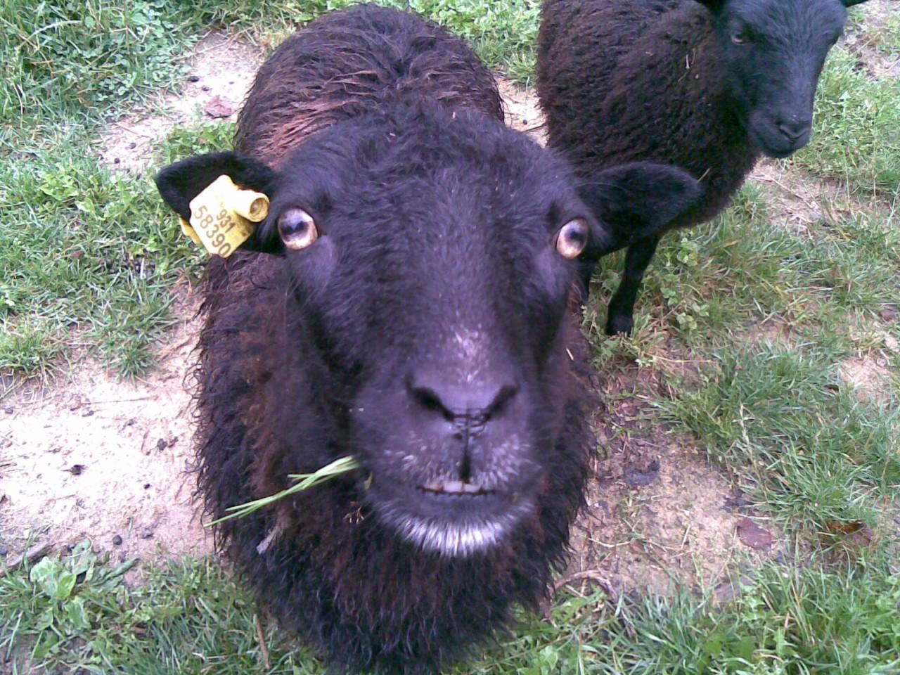 Mini ovečky z české kanady
